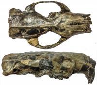 Skull of <I>Paramys</I>