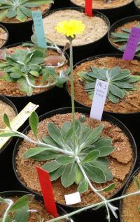 <I>Hieracium pilosella</I>