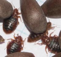 Bedbugs and Apple Seeds