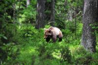 Brown Bear (<i>Ursus arctos</i>)