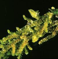 <i>Frullania pycnantha</i>