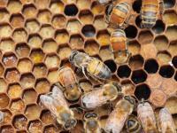 Mites Drive Deformed Wing Virus in Honeybees (1 of 3)