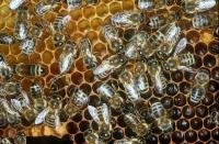 Mites Drive Deformed Wing Virus in Honeybees (2 of 3)