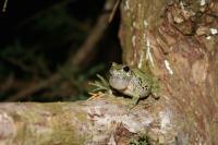 Gray Treefrog