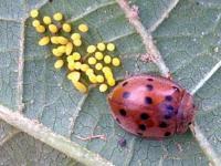 Mexican Bean Beetle, <I>Epilachna varivestis</I>