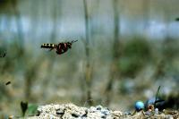 Ground-Nesting Wasp (<i>Cerceris arenaria</i>)