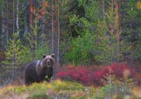 Specimen of Brown Bear