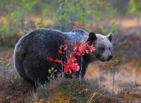 Specimen of Brown Bear (2 of 3)