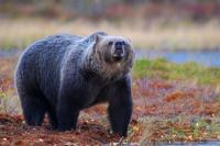 Specimen of Brown Bear (3 of 3)