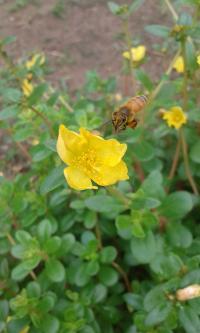 Mites Drive Deformed Wing Virus in Honeybees (6 of 8)