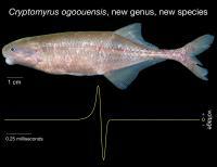 <em>Cryptomyrus ogoouensis</em>