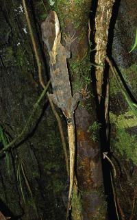 <em>Cyrtodactylus equestris</em>