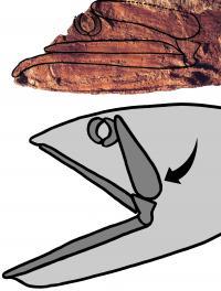 <I>Rhinconichthys</I> Jaws
