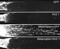 Enhancing Neuronal Firing Activity by Melanopsin Overexpression