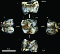 Homonin Molar
