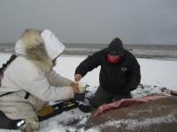 Sampling Walrus Tissue at Point Lay, Alaska