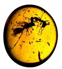 Fighting Ants