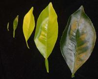 Citrus Leaf Stages