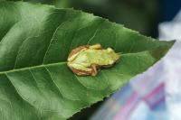 Female <i>Afrixalus clarkei</i>