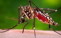 Female <I>A. aegypti</I> Mosquito