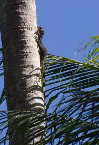 <I>Varanus semotus</I> (3 of 3)