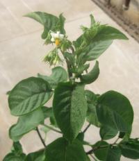Wild Potato Cultivar