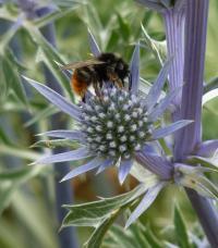 Bee on Non-iridescent Flower