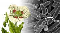 Genetically Modified <I>E. coli</I> Pump Out Morphine Precursor