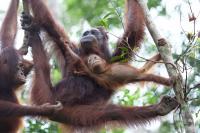 Orangutan Genes