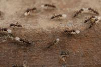 Argentine Ants (2 of 2)