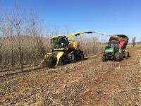 University of Tennessee Center for Renewable Carbon Hybrid Poplar Harvest