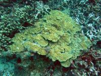 Mustard Hill Coral (<em>Porites astreoides</em>)