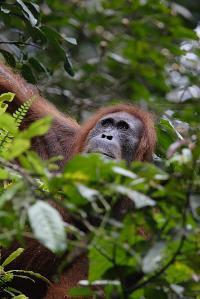 Sumatran Orangutans (1 of 2)