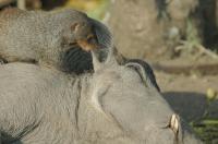 Mongoose & Warthog