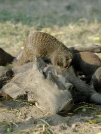 Mongooses & Warthog