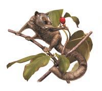 <i>Carpolestes simpsoni</i>