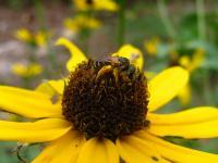 Sweat Bee (<em>Halictus ligatus</em>)