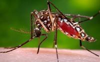 Female <em>Aedes aegypti</em> Mosquito