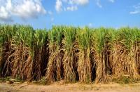 Oil Cane Fields