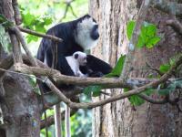 Wild Ursine Colobus Monkey with Child (2/2)