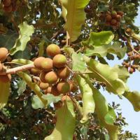 Shea Tree Nuts