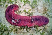 <i>Holothuria edulis</i>