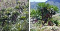 <i>Cycas micronesica </i>and <i>Cycas wadei</i>