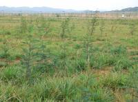 Black Wattle Trees