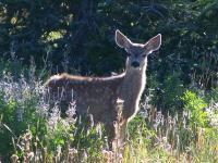 A Mule Deer Fawn