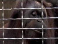 Orangutan Whistles