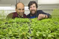 Associate Professor Balasubramanian and Craig Dent in Lab with <i>Arabidopsis</i> Plants