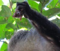 FAU Study Documents African Monkeys Eating Bats