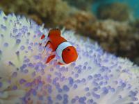 Clownfish in Danger
