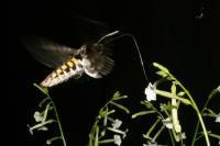 <i>Manduca sexta</i> Moth Visiting Flowers
